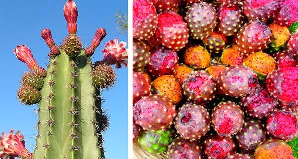 Pitaya mexicana